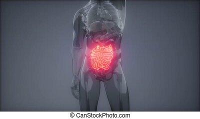 petit, radiologie, intestin, examen, humain