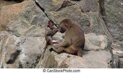 petit, singes