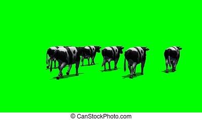 petit, vaches, course, troupeau