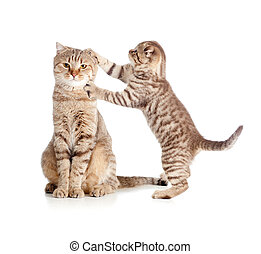 petite mère, chat tabby, toucher, écossais, chaton