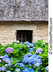 petite maison, couvert chaume, hydrangeas