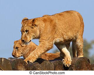 petits, lion