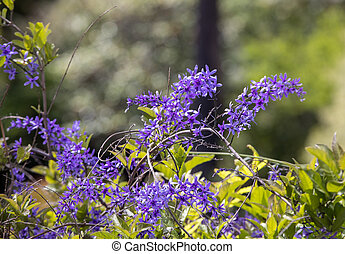 Petrea volubilis with purple decorative flowers in garden
