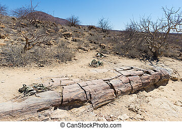 Petrified and mineralized tree trunk in the famous Petrified Forest National Park at Khorixas, Namibia, Africa. 280 million years old woodland, climate change concept