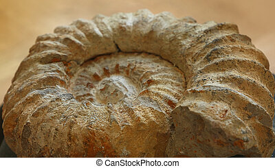 Petrified extinct ammonite fossil shell remains