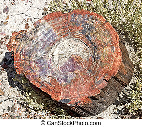 Cross section of a petrified tree in Petrified Forest National Park, Arizona