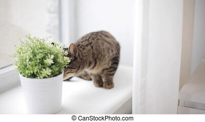 cat on window sill smelling flower in pot at home - pets and...