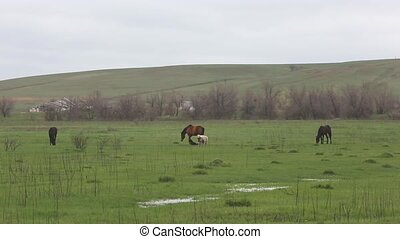 Pets graze in the spring field. - Pets grazing on a mountain...