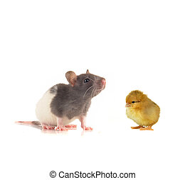pets - grey rat and chick on a white background