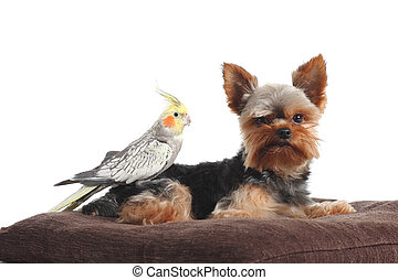 Pets yorkshire Terrier and cockatiel bird posing together on a pillow