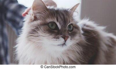 Accurately petting grey domestic furry cat, closeup