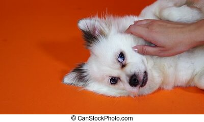 Petting the dog. A woman stroking her dog, close-up. A funny little white dog with big blue eyes is lying on an orange background