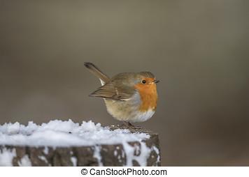 pettirosso, perched, su, uno, neve coprì, ceppo albero, in, terreno boscoso