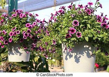 petunia, bloemen, te koop