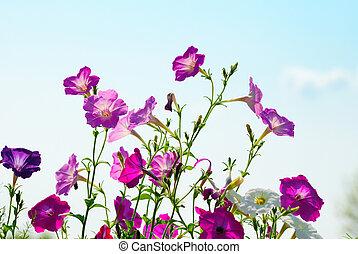 petunia, flores, en, cielo, plano de fondo