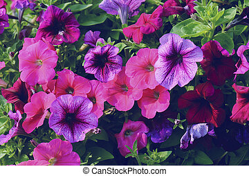 petunia flower at garden in summer