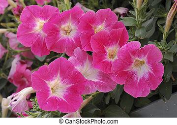 petunia flower at garden in summer