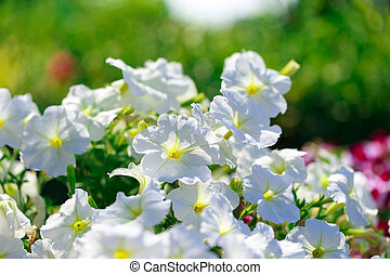 Petunia flower. Bright colored background of many colors in the rays of the sun. Summer landscape. Copy space.