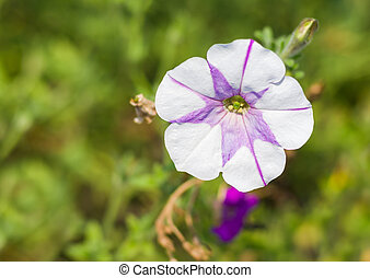 Petunia flower in a garden at summer sunny day