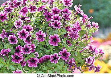 Petunia flowers for sale