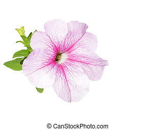 petunia flowers isolated on white - Beautiful flower,...