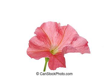 Petunia on white isolated background.