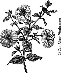 Petunia or Petunia sp., vintage engraving
