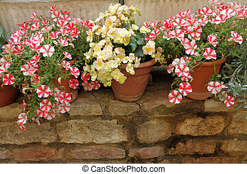 petunias and begonias flowers in pots on low brick wall,...