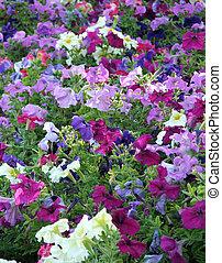 Colourful garden of petunias