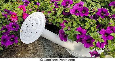 petunias in sprinkling can - purple petunias in white...