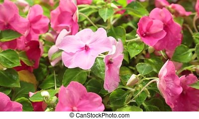 Petunias Pink Flowering High Definition Stock Footage
