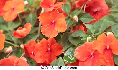 Petunias Red Flowering High Definition Stock Footage