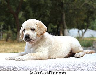 peu, blanc, chiot, labrador, fond