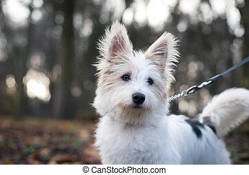 peu, blanc, pelucheux, chien