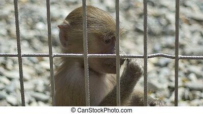 peu, captivit, singe