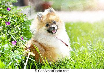 peu, chiot, pomeranian, herbe verte, adorable