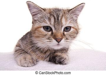 peu, chouchou, chat, chaton, blanc, gentil