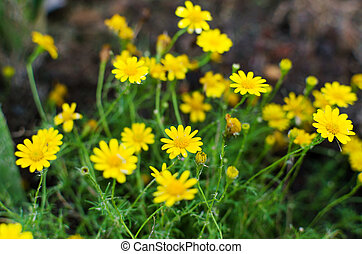 Pollen peu fleur jaune fer blanc mauvaise herbe image recherchez photos clipart - Mauvaise herbe fleur jaune ...