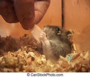 peu, hamster