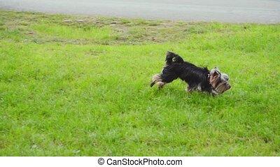 peu, lent, chien, mouvement, courant, pelouse