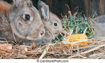 peu, manger, jeune, leur, lapin, farm., rigolote, petits,...