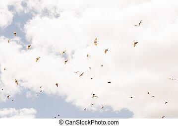 peu, vol, renard, pteropus scapulatus, voler, colonie, ...