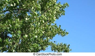 peuplier, branches, feuilles