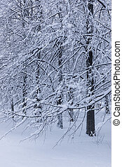 peupliers, hiver, neigeux