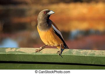 peut-être, oiseau, pradesh/india, dinosaure, uttar, ranthambore., sien, oeil, 02, fin, coloré, asseoir, 2013, proie, vous, regarder, lentille
