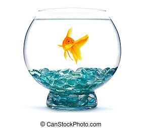 pez, acuario, oro