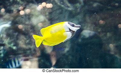 pez, amarillo
