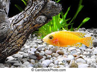 pez, cichlid-aulonocara., acuario, enano