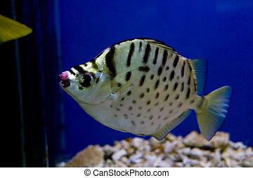 pez, colorido