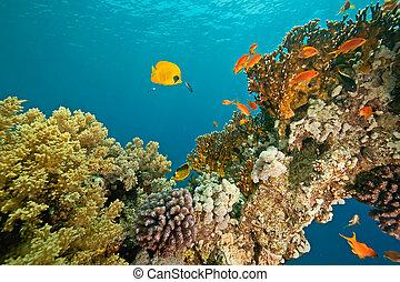 pez, coral, sha\'ab, alrededor, mahmud